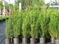Podocarpus podado